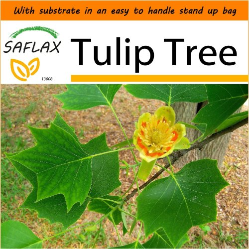 SAFLAX Garden in the Bag - Tulip Tree - Liriodendron - 20 seeds