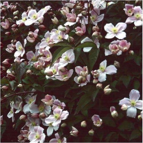 Flower - Clematis Montana - Pink - 15 Seeds