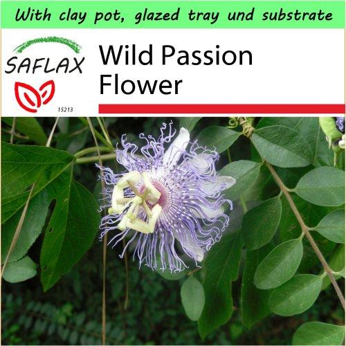SAFLAX Garden to Go - Wild Passion Flower - Passiflora - 5 seeds