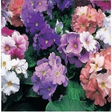 Flower - Primula Obconica - Libre Mix - 20 Seeds