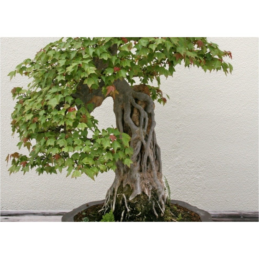 Saflax Bonsai Three Toothed Maple Acer Buergerianum 30 Seeds