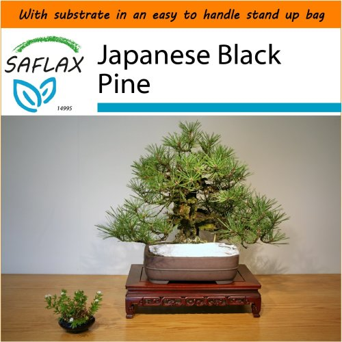 SAFLAX Garden in the Bag - Bonsai - Japanese Black Pine - Pinus - 30 seeds