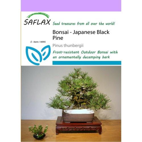 Saflax  - Bonsai - Japanese Black Pine - Pinus Thunbergii - 30 Seeds