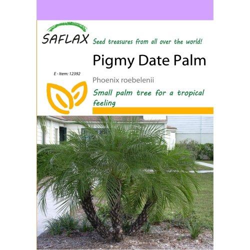 Saflax  - Pigmy Date Palm - Phoenix Roebelenii - 25 Seeds