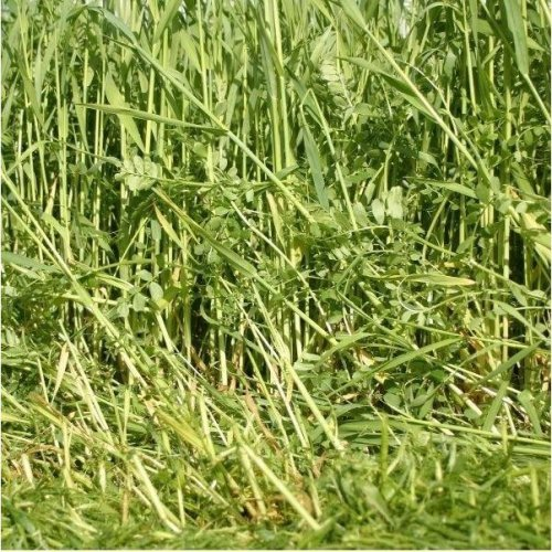 Green Manure - Overwinter Nitrogen Fixing Rye Vetch Mix - 250g