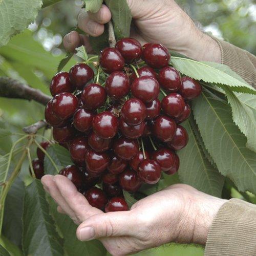 Sweet Cherry Stella Bare Root Tree 1.2M - 1.4M