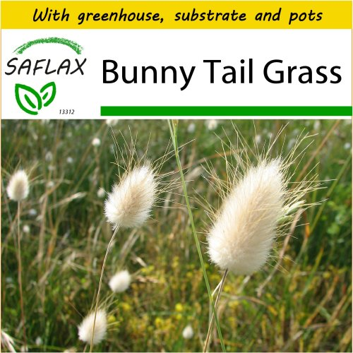 SAFLAX Potting Set - Bunny Tail Grass - Lagurus ovatus - 100 seeds - With mini greenhouse, potting substrate and 2 pots