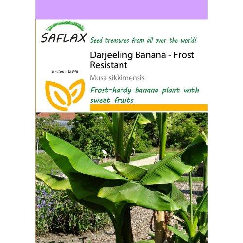 Saflax  - Darjeeling Banana - Musa Sikkimensis - 5 Seeds