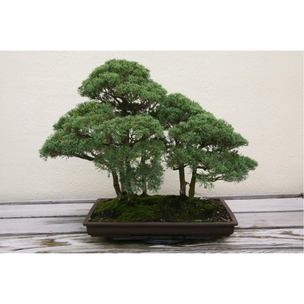 Saflax - Bonsai - Chinese Juniper - Juniperus Chinensis - 30 Seeds