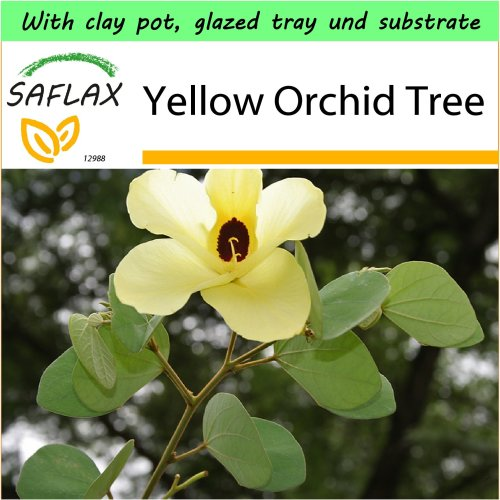 SAFLAX Garden to Go - Yellow Orchid Tree - Bauhinia - 30 seeds