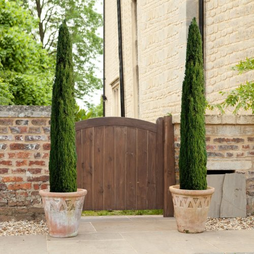 Pair of Italian Cypress Trees 70-100cm tall (2 pieces)