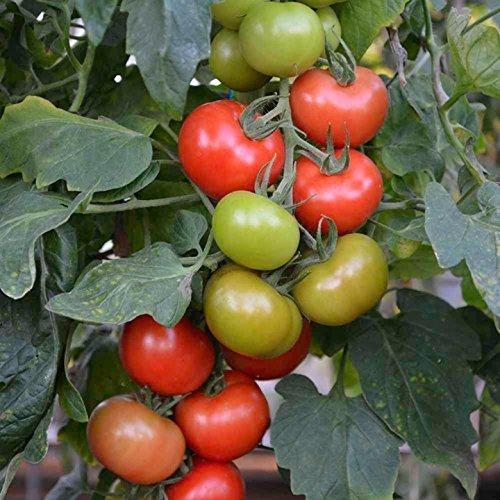 10 Suttons F1 Crimson Crush Tomato Seeds | Blight-Resistant Tomato Seeds